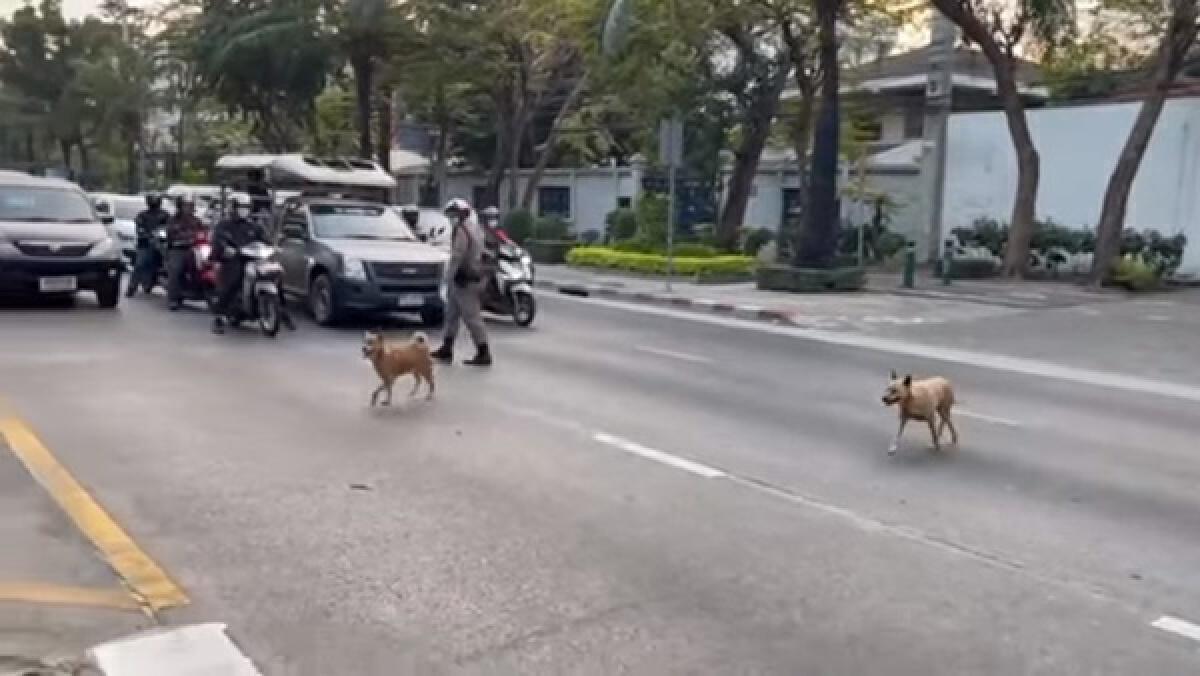 แห่ชื่นชม ตำรวจจราจรโบกรถให้หยุด เปิดทางให้สุนัข 2 ตัว เดินข้ามถนน