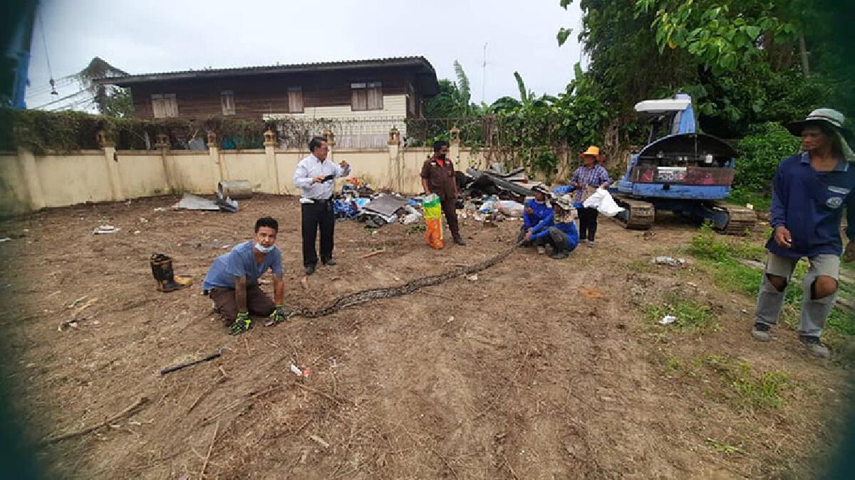 ชาวบ้านผวา งูเหลือมยาว 5 เมตร อยู่ในกองขยะ เรียกกู้ภัยมาจับ เจอลูกอีก 33 ตัว