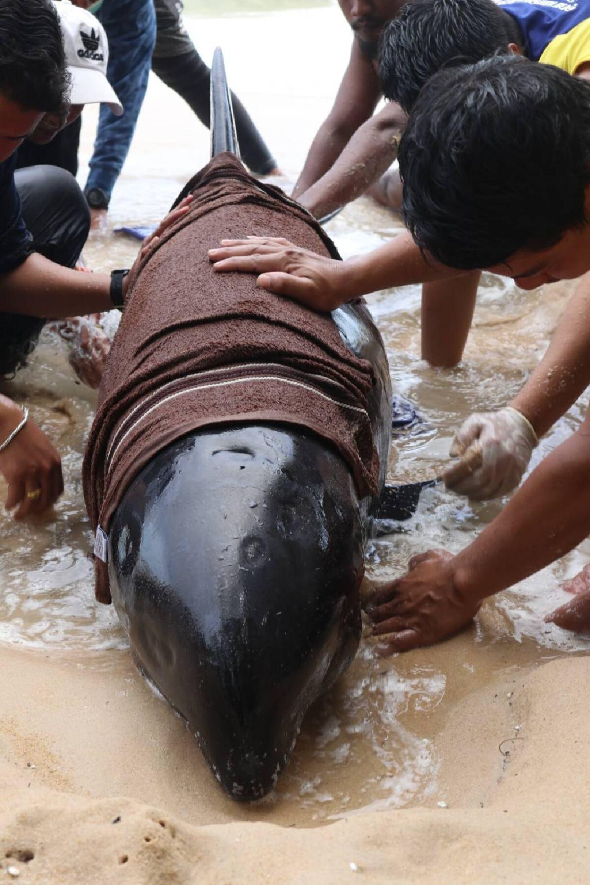 จนท.เร่งช่วย วาฬหัวแตงโม หลังพบลอยเกยตื้น หน้าสถาบันพิทักษ์ทะเล