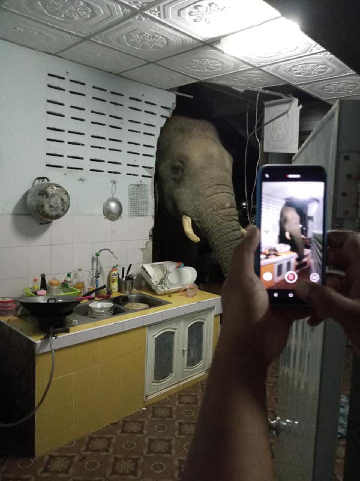 ช้างป่าหิวกลางดึก บุกบ้านโผล่เข้าไปในห้องครัวหาของกิน