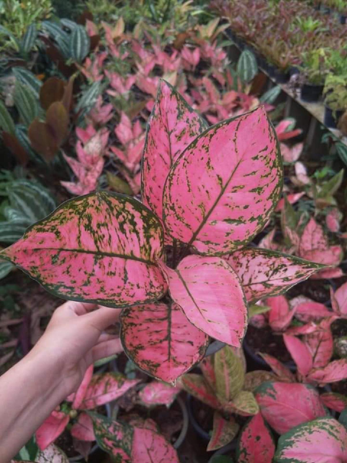 ต้นวาเลนไทน์ หรืออัญมณีสีชมพู