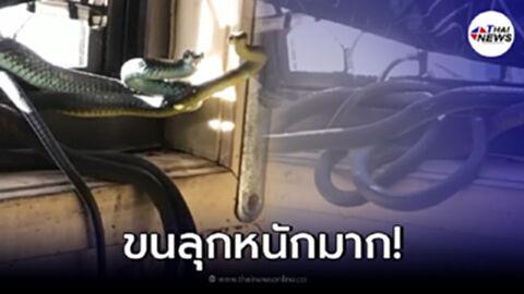 ขนลุก กองทัพงูแห่ขึ้นบ้าน ยึดห้องเป็นรัง ชูคอเยาะเย้ยเจ้าของบ้าน